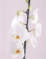 White Phalaenopsis Orchid Romance