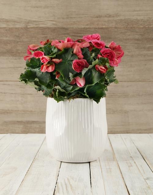 flowering: Pink Begonia in Glazed Pot !