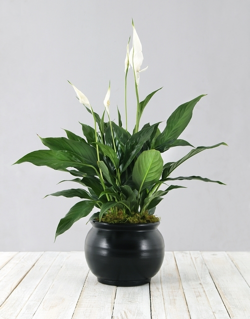 flowering: Spathiphyllum in Black Pot!