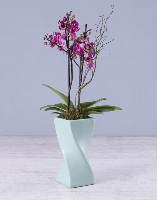 orchids: Midi Orchid in a Blue Ceramic Twisty Vase!