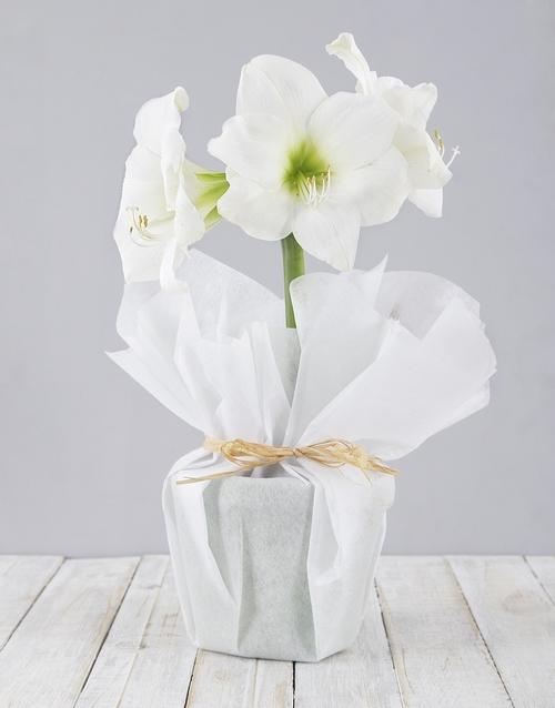 lily: White Amaryllis Plant!