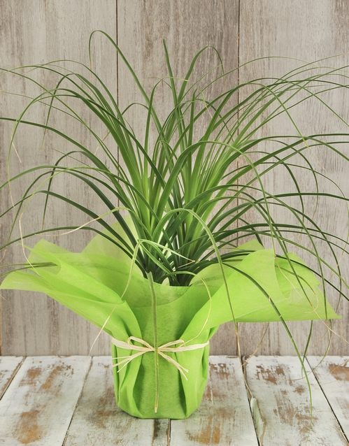 prices: Ponytail Palm in Tissue Paper!