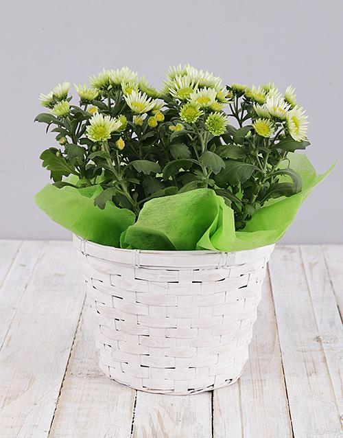 flowering: Green Chrysanthemum Plant Basket!