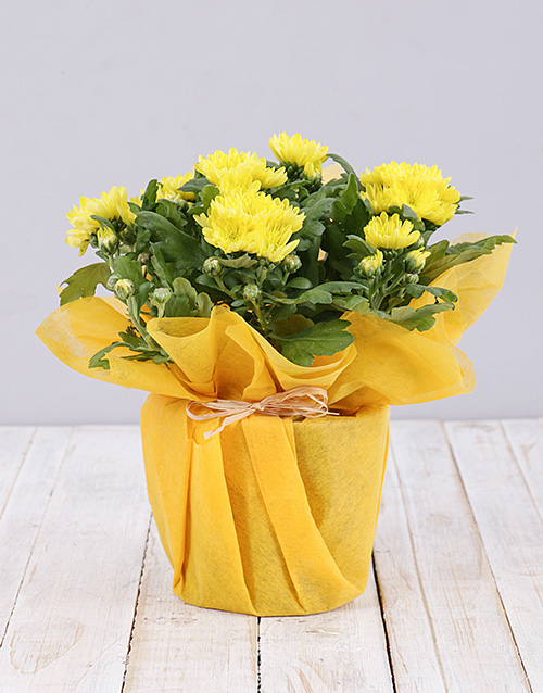 daisies: Potted Daisies in Wrapping!
