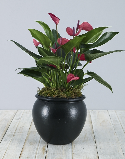 flowering: Anthurium Plant in Black Pottery!