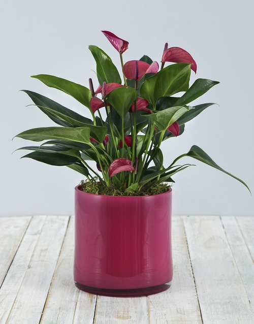 flowering: Anthurium in Pink Cylinder Vase!
