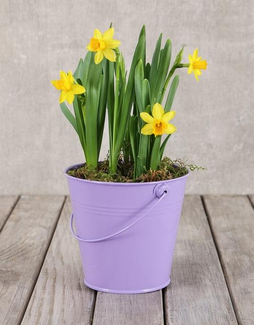 daffodils: Daffodil Plant in Purple Bucket!