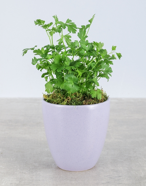 herbs: Parsley Herbs in Glazed Pot!