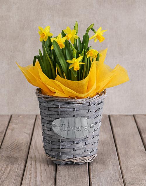plants: Single Daffodil Plant Basket!