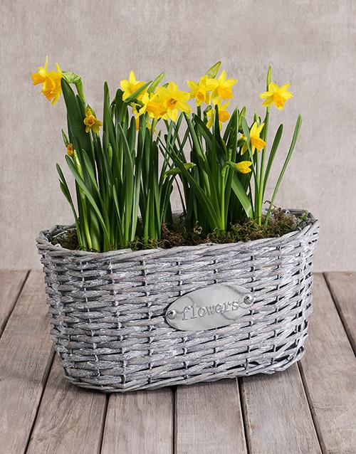 plants: Double Daffodil Plant Basket!