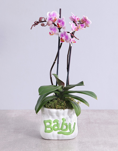 orchids: Midi Phalaenopsis Orchid in Green Baby Vase!