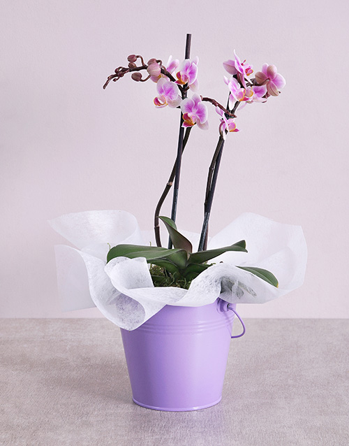 grandparents-day: Midi Phalaenopsis Orchid in Purple Bucket!