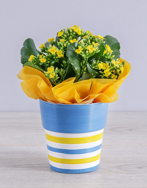 whats-new: Yellow Kalanchoe Plant in Striped Ceramic Pot!