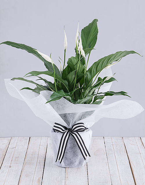 secretarys-day: Spathiphyllum in White Tissue Paper!