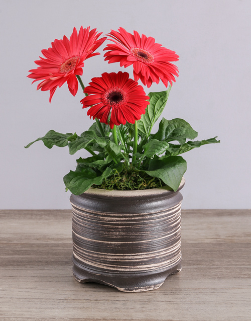 flowering: Mini Gerbera Plant in Ceramic Pot!