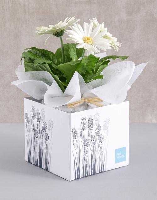 gerbera-daisies: White Mini Gerbera Plant Box!