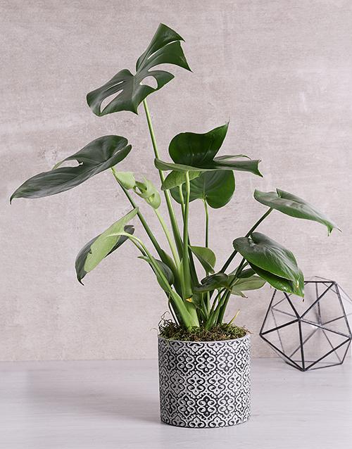 green: Monstera Plant in Black Patterned Vase!