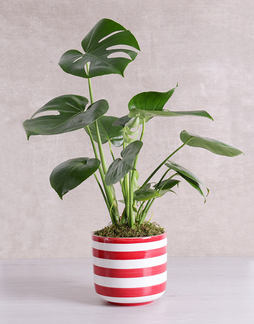 whats-new: Monstera Plant in Red Striped Vase!