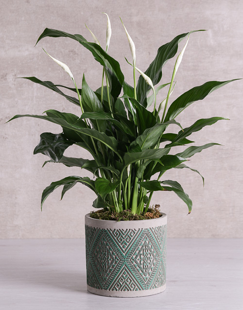 lily: Spathiphyllum in Green Patterned Vase!