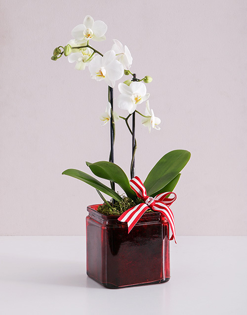 orchids: Midi White Phalaenopsis Orchid Vase!