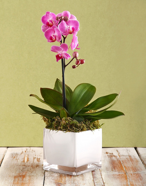 flowering: Mini Orchid in a White Vase!