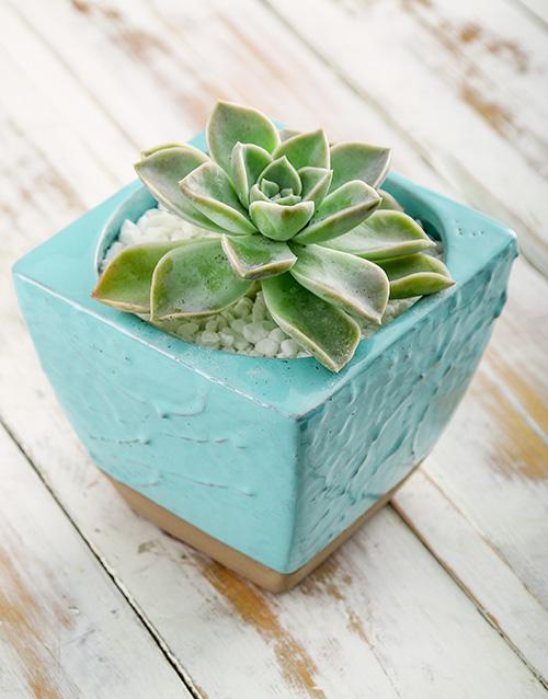 succulents: Succulent in Blue Ceramic Pot!