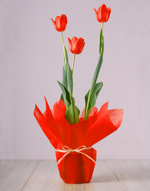 flowering: Red Tulip Plant!