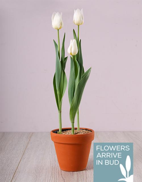 tulips: Purely White Tulip Plant!