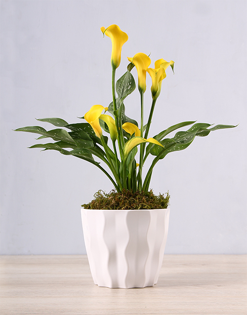 lily: Yellow Zantedeschia in White Container!