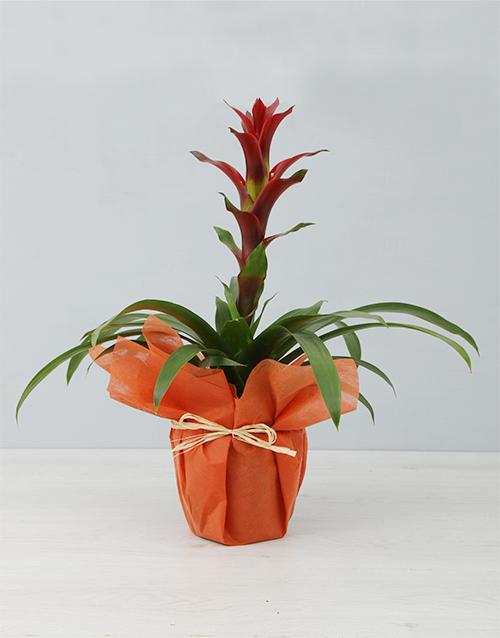 flowering: Sunny Orange Guzmania Plant!