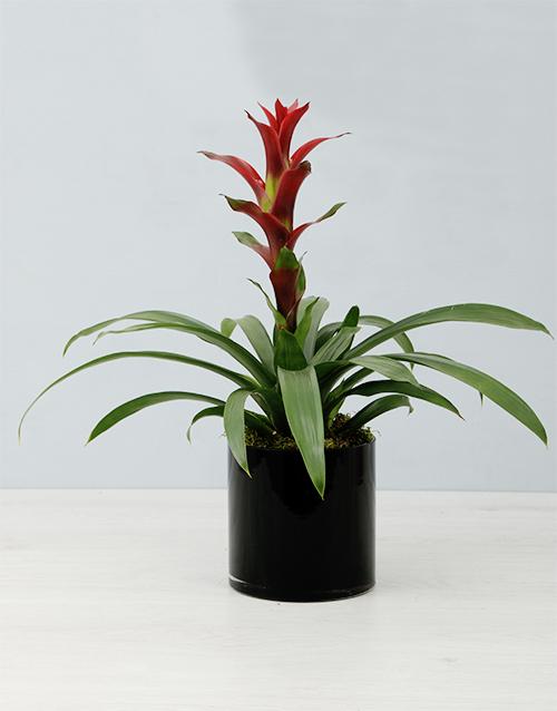flowering: Guzmania In Black Cylinder Vase!