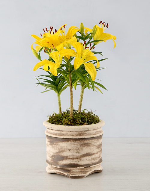 lily: Asiatic Lily in Round Ceramic Pot!