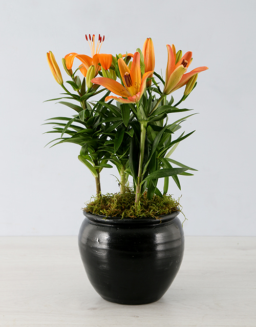 lily: Orange Lily in Black Pottery Container!