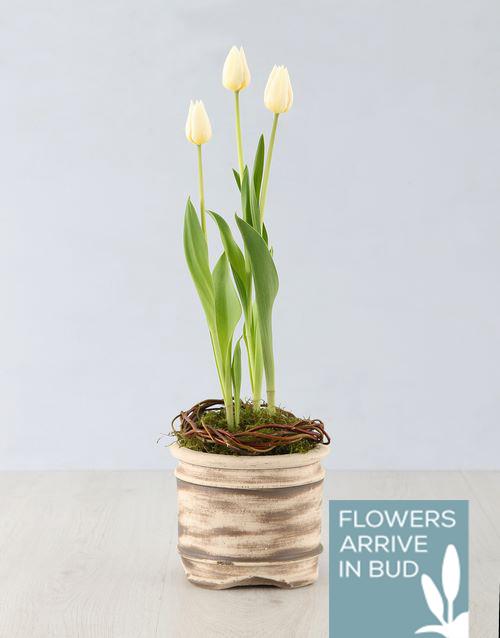 tulips: White Tulip Plant in Ceramic Pot!