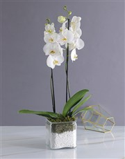 Picture of Phalaenopsis Orchid Duo!