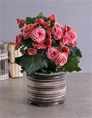 Picture of Begonia Plant in  Ceramic Pot !