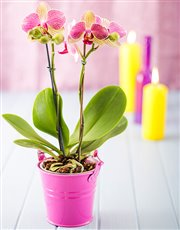Picture of Mini Phalaenopsis Orchid in a Pail!