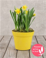 Picture of Daffodil Pot!