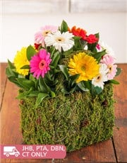 Picture of Moss Basket of Assorted Mini Gerberas!