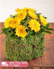Picture of Moss Basket of Mini Yellow Gerberas!