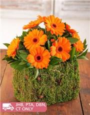Picture of Mini Orange Gerberas in Moss Basket!