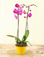 Picture of 2 Stem Phalaenopsis Orchid!