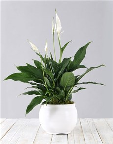 gifts: Pure White Beauty in Pot!