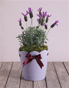 gifts: Lavandula Dream in a Pot!