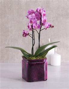 gifts: Midi Orchid in a Coloured Vase!