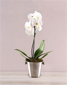 gifts: Elegant Orchid in ice Bucket!