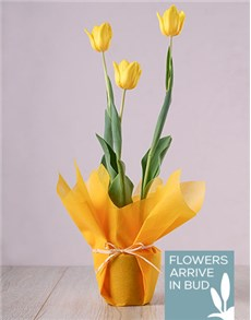 gifts: Tulip Plant with Wrapping!