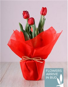 gifts: Red Tulip Pot!