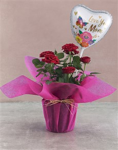 gifts: Potted Rose Bush!