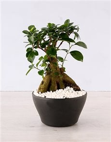 plants: Ficus Bonsai Tree!